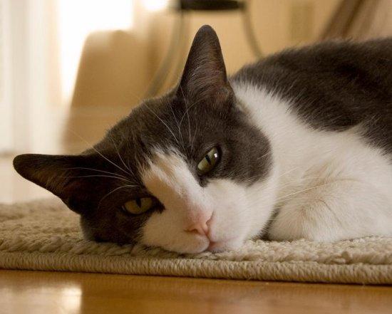 informacion sobre el gato 3