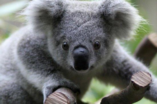 informacion sobre el koala 2