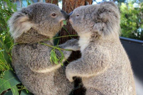 informacion sobre el koala 3