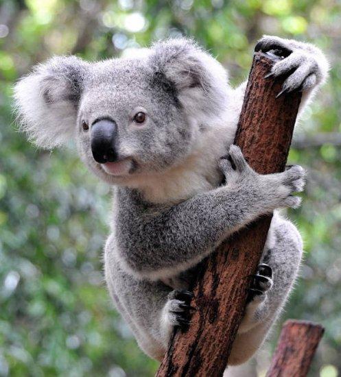 informacion sobre el koala