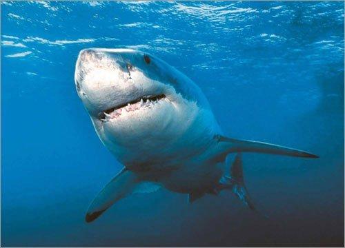 informacion sobre el tiburon blanco 3
