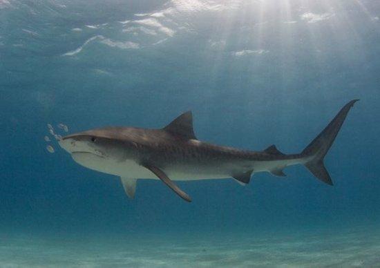 informacion sobre el tiburon blanco 4