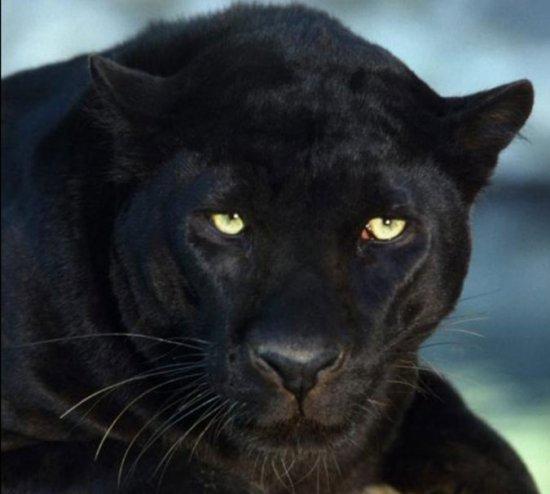 Black Female Cat Pictures